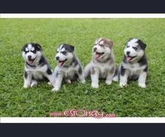 Regalo manificos , puros y Hermosos cachorros Husky Siberiano con ojos azules