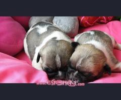 donacion de mis hermosos cachorros bulldog francés