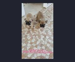 Se venden cachorros de bulldog fran fuan
