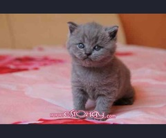 Camada de british shorthair