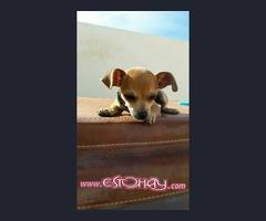 Chihuahua  Perrito