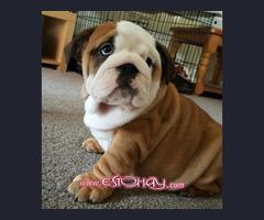 regalo cachorros bulldog ingles de 10 semanas