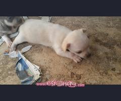 cachorros de chihuahua miniatura