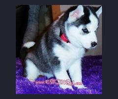 Cachorros husky siberiano en adopcion....