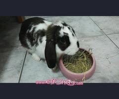 Conejo belier