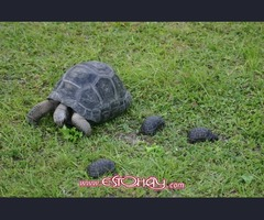 Tortugas de Aldabra (Geochelone gigantea) para la venta