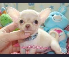 Regalo Chihuahua cachorros para adopcion gratis !!!