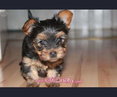Regalo Cachorros Yorkshire Terrier Mini
