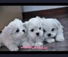 REGALO cachorros Bichon Maltes Mini Toy Para Adopcion