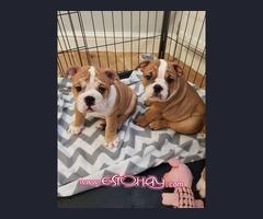 Regalo Hermosos cachorros Bulldog de raza Mini
