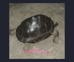 tortuga-aldabra. com con tortuga gigante aldabra