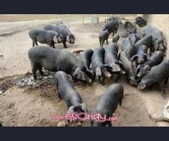 Lechones - Cerdos - Raza Canaria