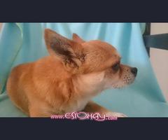 Se ofrece Chihuahua para montas.